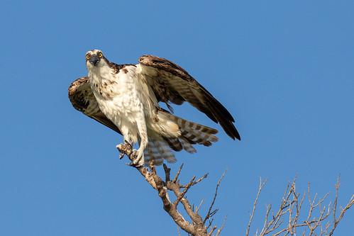 outdoor sky nature wildlife 7dm2 7d ii ef100400mm ocean canon florida bird raptor fish hawk