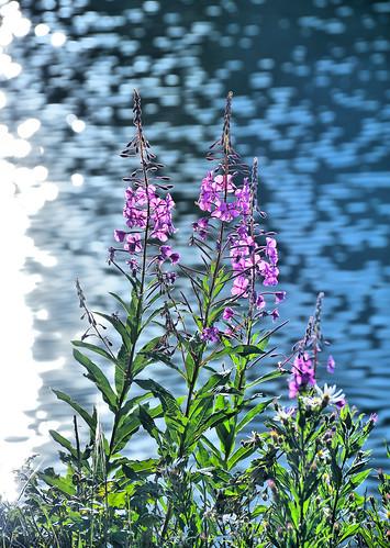 eechillington nikond7500 viewnxi corelpaintshoppro lakemary brightonlakestrail bigcottonwoodcanyon utah water flower hiking sunset impressionistic