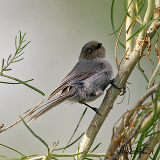 Female Bushtit | by dcstep