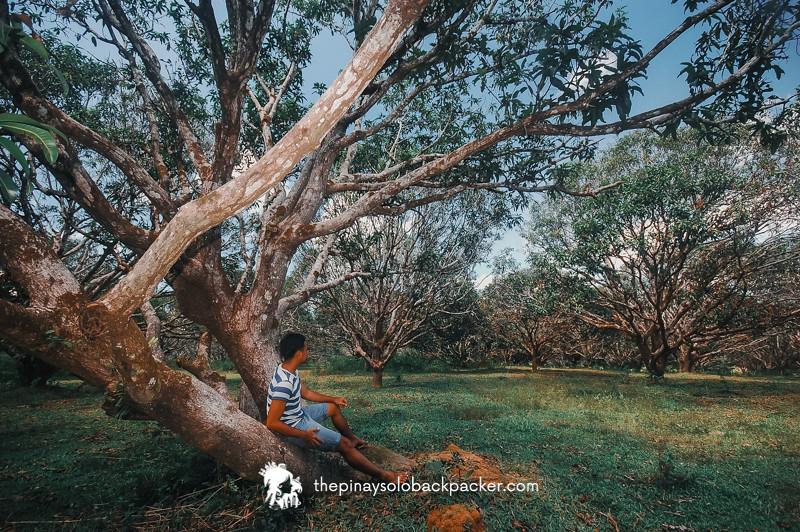 guimaras mango plantation