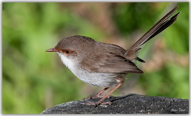 Superb Fairy-wren hen