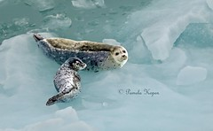 From archives - Harbor seal mom and pup on glacial ice floe