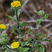 RL3 | Kleines Flohkraut (Pulicaria vulgaris)