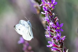 Klein Geaderd Witje-Green-veined White (Pieris napi)