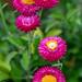 Xerochrysum bracteatum (I), 5.17.19