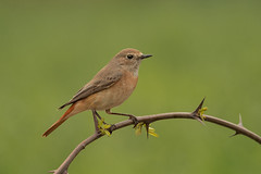 CODIROSSO - COMMON REDSTART