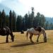 Three ponies and an attendant--Pahalgam , Kashmir