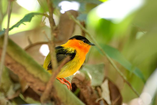 Orange-collared Manakin..  Costa Rica .Album
