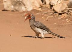 Crowned Hornbill - Tockus alboterminatus