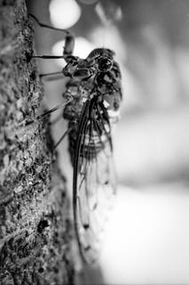 LX Cicada