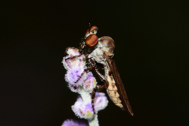 Robber Fly (Explored)