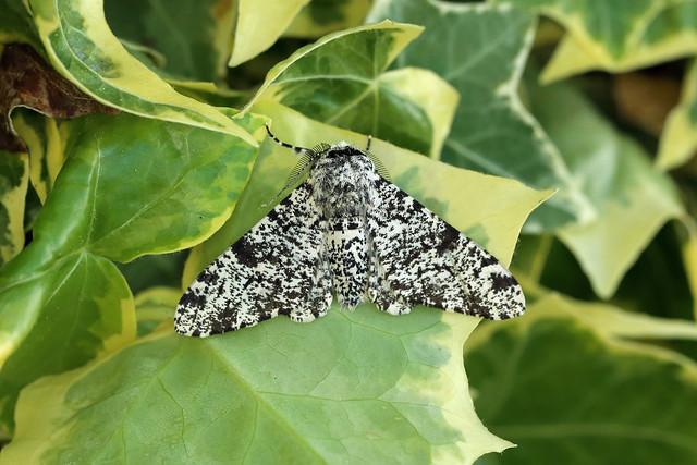 70.252 Peppered Moth (Biston betularia), Burntisland, Fife