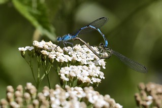 Common Blue damselflies Enallagma cyathigerum