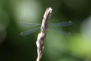 Willow Emerald Chalcolestes viridis