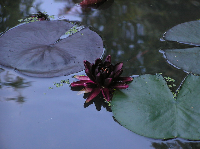 Nymhaea 'Black Princess'