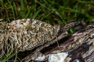 Grayling Butterfly (Hipparchia semele)
