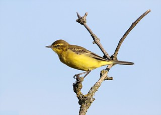 Yellow Wagtail  -  Gibraltar Point Lincolnshire.