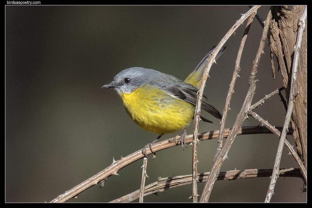 Eastern Yellow Robin: Tail flick communication