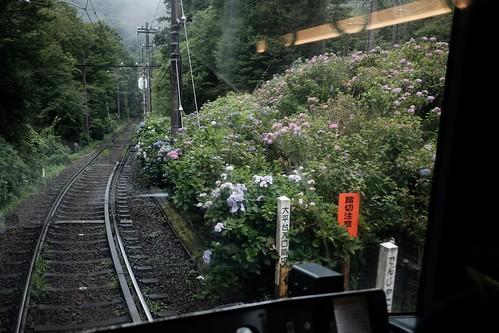 箱根登山鉄道と紫陽花