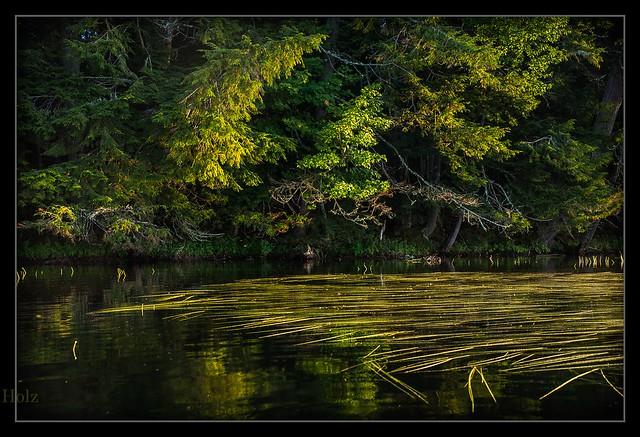 Wild celery, Follensby pond, NY