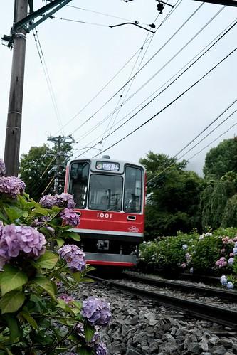 箱根登山鉄道と紫陽花 3