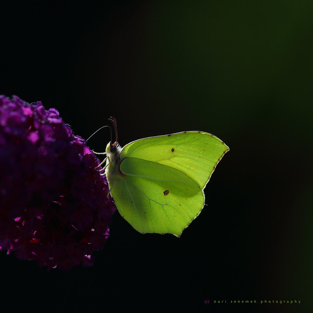 common brimstone / citron