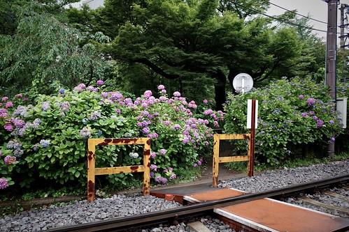 箱根登山鉄道と紫陽花 4