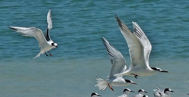 MEXICO, Yukatan, Am Golf von Mexiko,  Isla Aguada -Laguna Terminos, Vogelparadies, Möwen, serie, 19226/11899