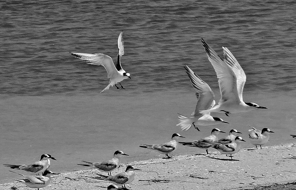 MEXICO, Yukatan, Am Golf von Mexiko,  Isla Aguada -Laguna Terminos, Vogelparadies, Möwen, serie, 19221/11894
