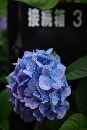 箱根登山鉄道と紫陽花 5