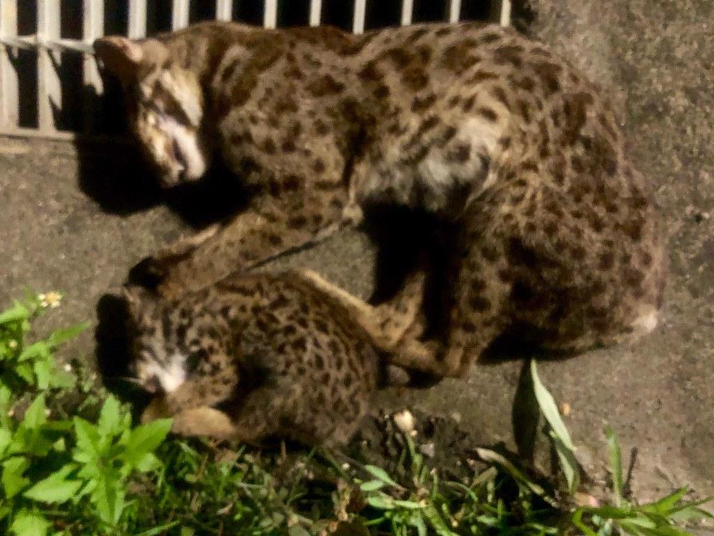 8月22晚間於台13甲遭到路殺的疑似母子石虎。圖片提供:亞興犬舍。