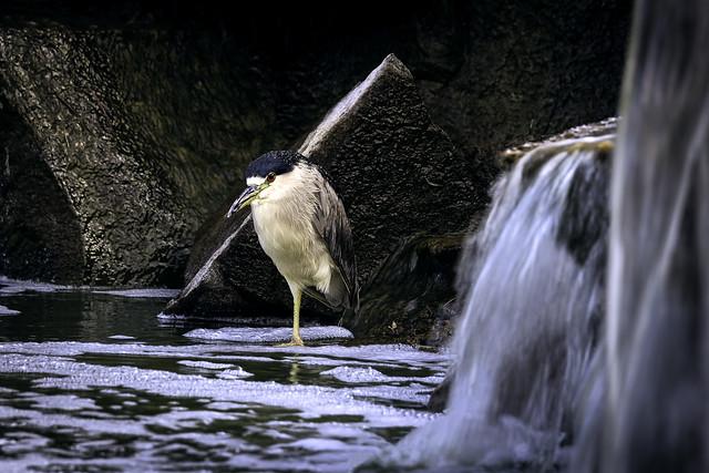02469376422792-115-19-08-Black-Crowned Night Heron-33