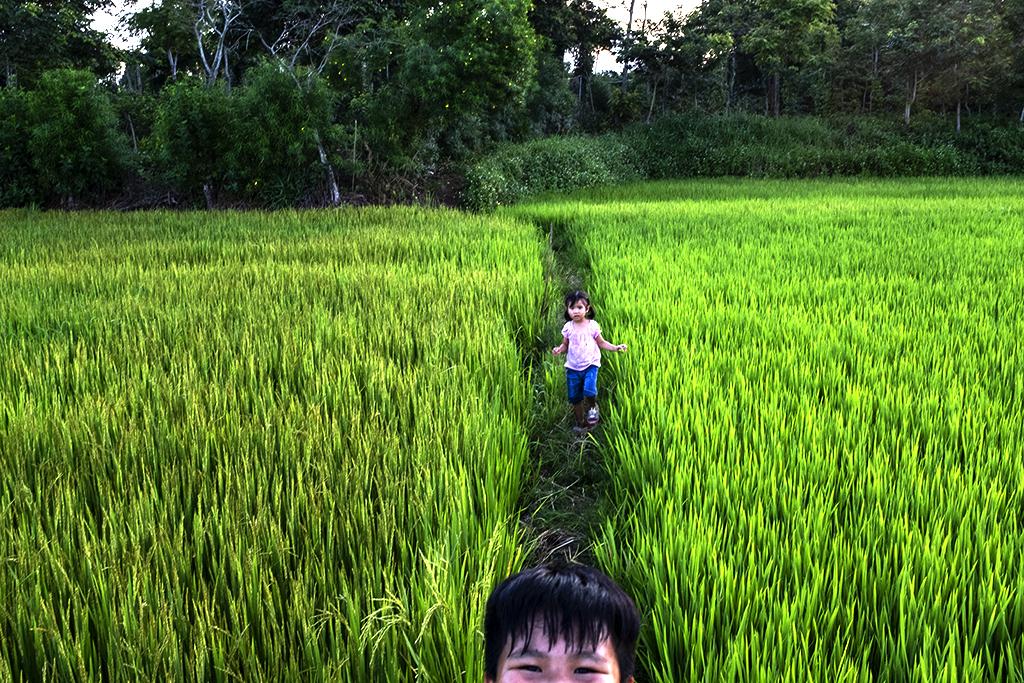 Rice paddies--Krong Buk
