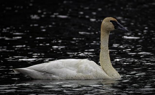 Trumpeter Swan...