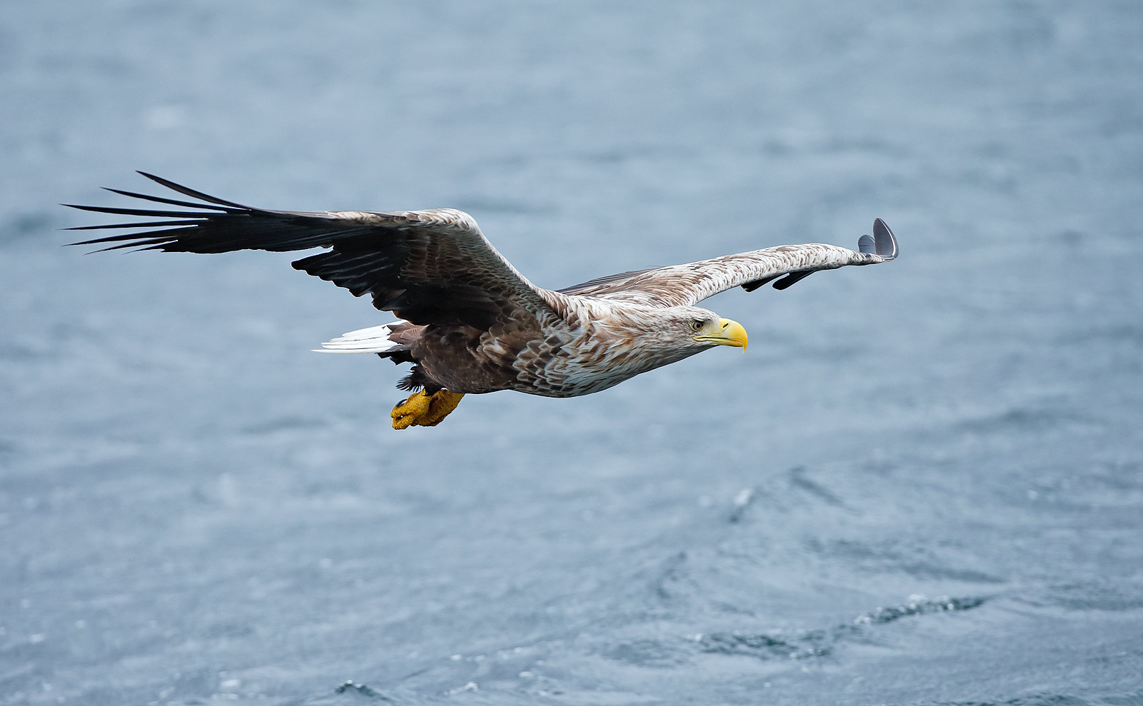 White-tailed Eagle - female