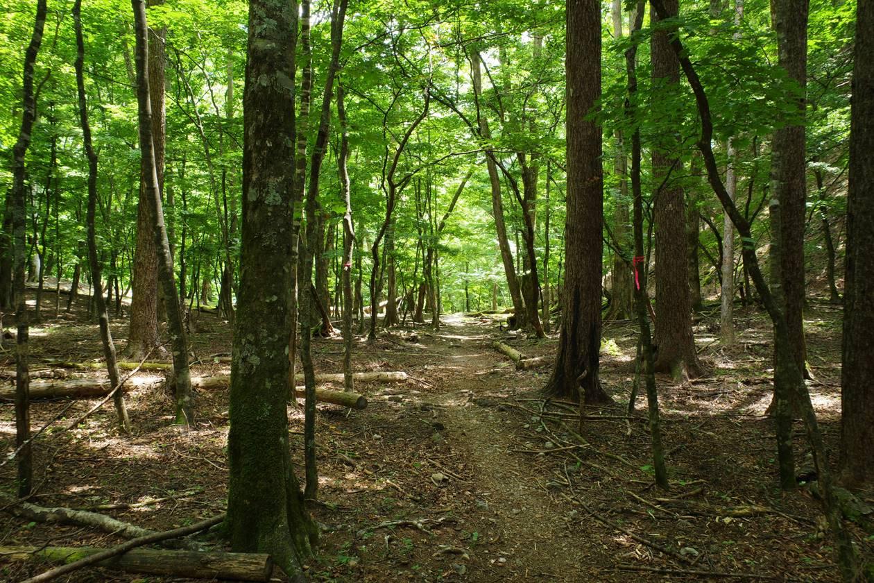 南アルプスの樹林帯