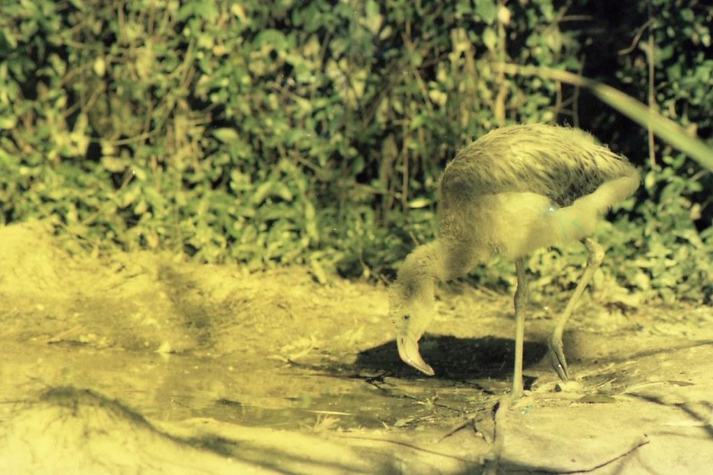 Young Flamingo, ca. 1980
