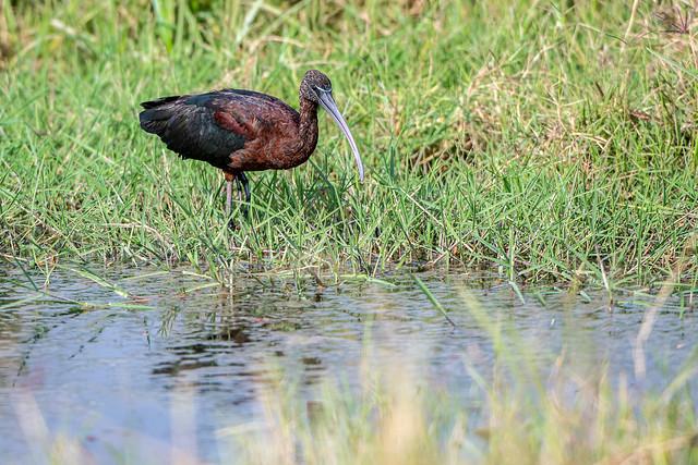 Glossy ibis - Plegadis falcinellus - Zwarte ibis
