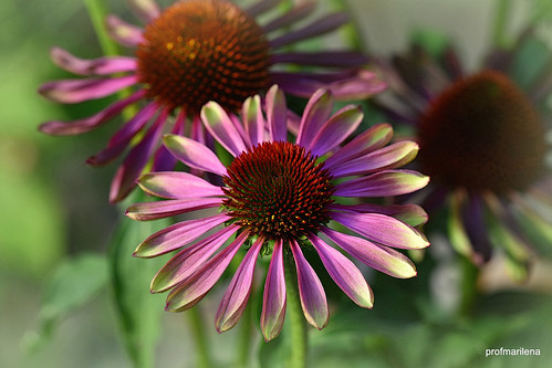 2019-08-192  a new unusual echinacea, artwork
