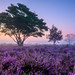 Ellen van den Doel posted a photo:	I think I have the heather addiction.... ;-) Such a magical sight!
