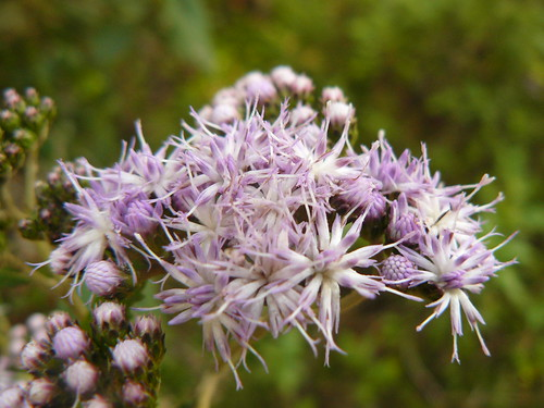 asteraceae mount kenya afromontane forest pink purple lavender flowers daisy