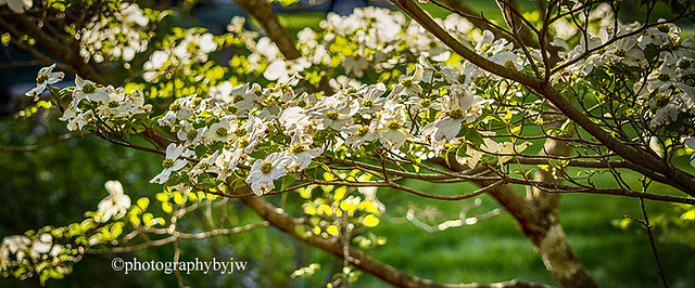 Dogwood Blossom branch