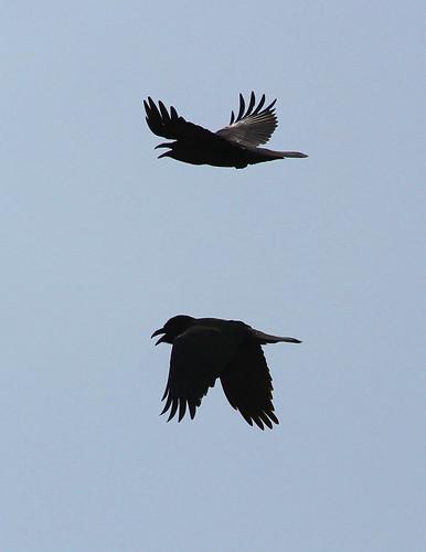 Common Ravens in flight