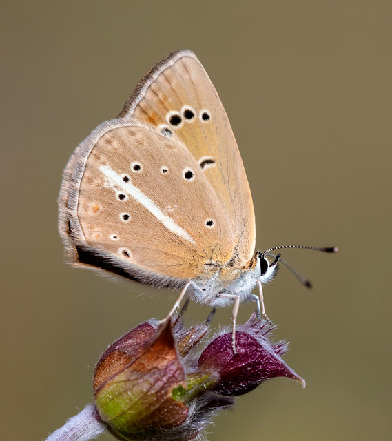 Polyommatus ripartii