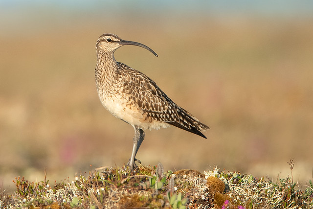 Bristle-thighed Curlew - Nome