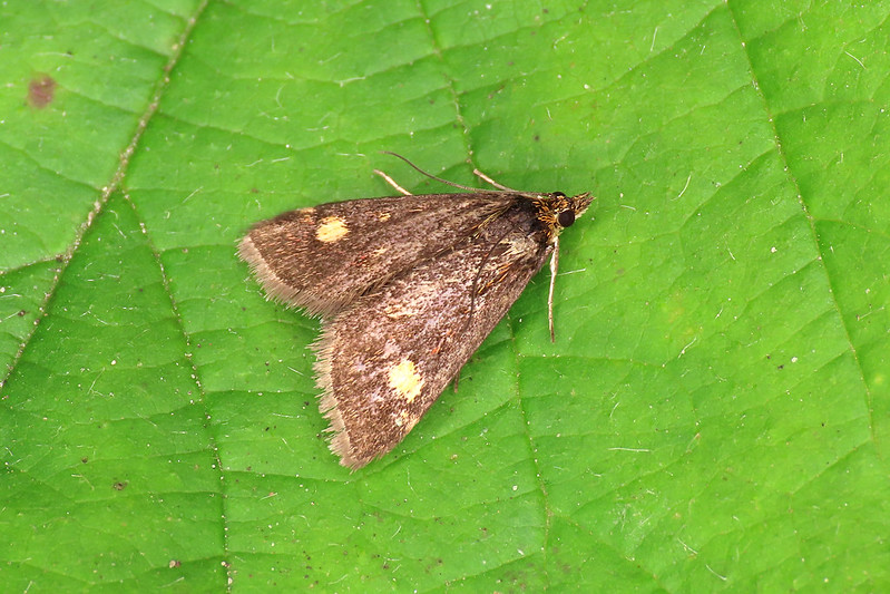 63.006 Small Purple & Gold - Pyrausta aurata