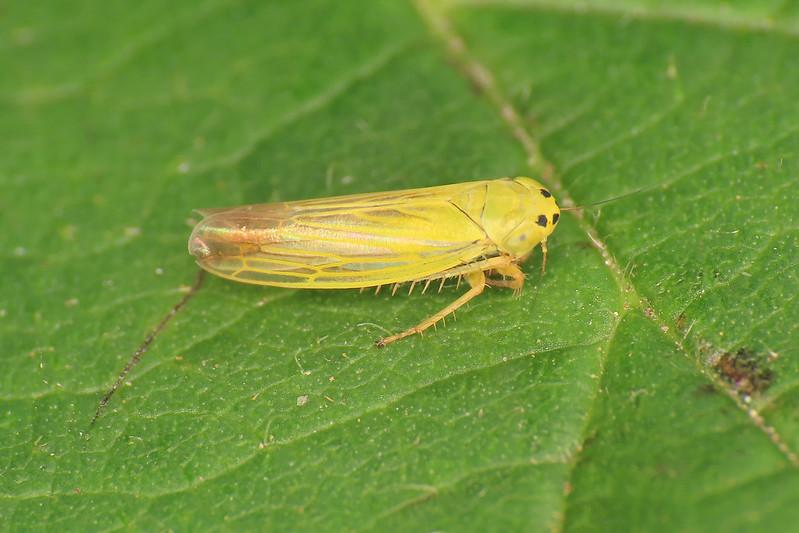 Elymana sulphurella