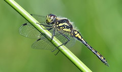 Black Darter (Sympetrum danae) male