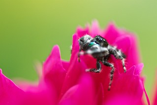 Jumping Spider with Captured Prey
