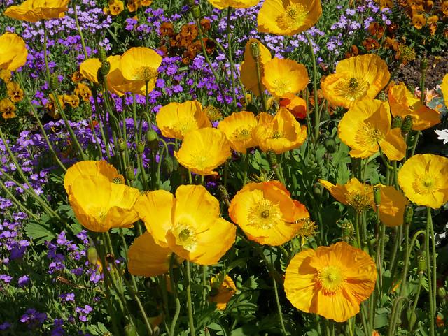 Poppies, Jardin Compans Caffarelli, Toulouse